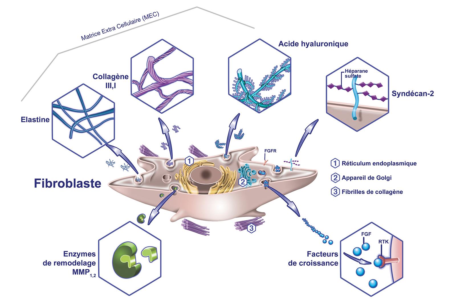 Le Rôle des fibroblastes